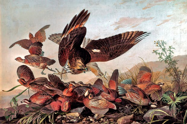 'Hawk Pouncing on Partridges', c.1827, by John James Audubon