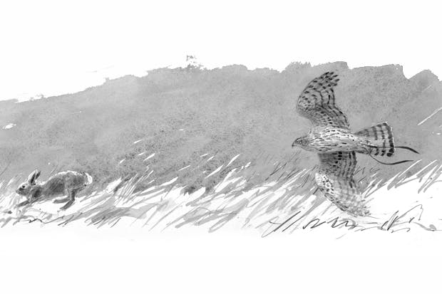 Drawing of a goshawk by the leading wildlife artist Bruce Pearson. From A Sparrowhawk's Lament: How British Breeding Birds of Prey are Faring, by David Cobham (Princeton University Press, £24.95, pp. 256, ISBN 9780691157641, Spectator Bookshop, £23.95)