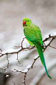 The ring-necked parakeet, one of the most successful birds to colonise London, still looks conspicuously out of place in Hyde Park in the snow