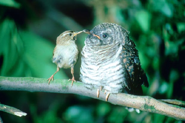 Cuckoo chick with wren parent