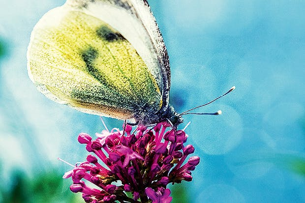 The Clouded Yellow, especially vulnerable to cold, wet weather, is rare in Britain and usually confined to the South Downs and south coast