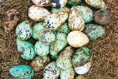 Guillemot eggs, Iceland. From The Nordic Cookbook by Magnus Nilsson (Phaidon)