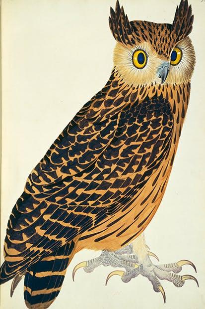 Tawny fish owl (Ketupa flavipes) painted for Brian Hodgson by Rajman