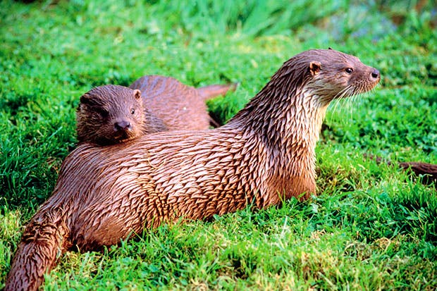 An otter's metabolism is so high that you'd have to eat 88 Big Macs a day to match it