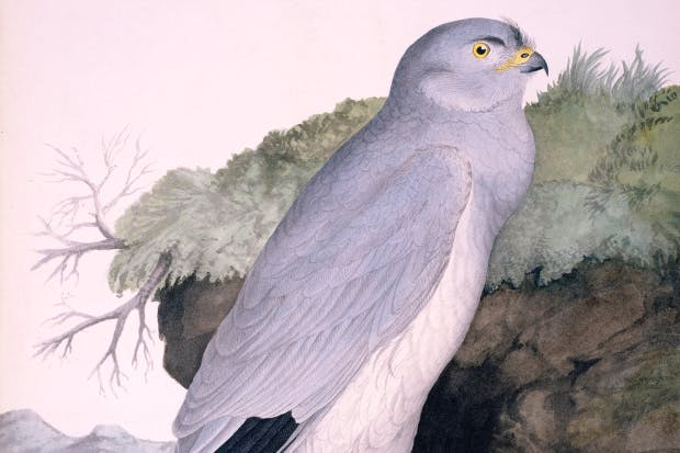 Hen Harrier (Circus cyaneus) by William MacGillivray