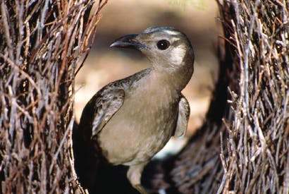 Male bowerbirds' creations look like little art galleries — built to impress the females