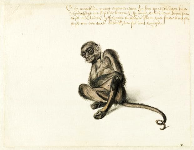 'Spider Monkey, c.1638–1644, by Frans Post. Watercolour and gouache, with pen and black ink. Photo: Noord-Hollands Archief