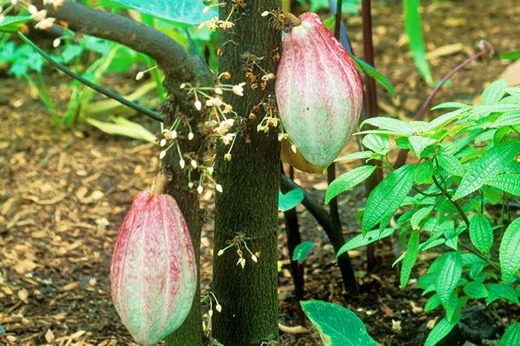 The cacao tree in flower and fruit. Its only pollinators are flies — so without flies there would be no chocolate