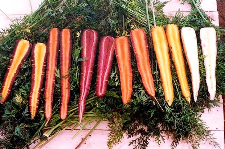 Before the 17th century, all carrots were red, white and yellow. Orange ones were a new species. Image: Rex Images