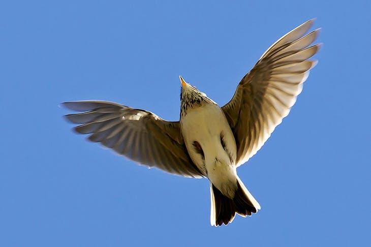 The Eurasian skylark (Alauda arvensis) in song flight, Sussex, April 2012