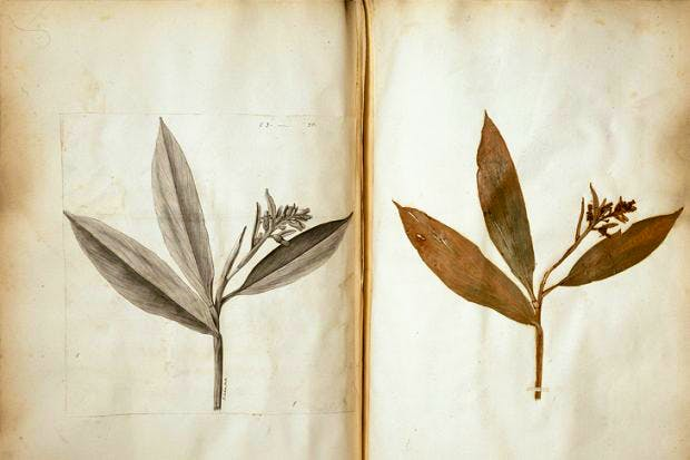 Pages from Hans Sloane's Herbarium