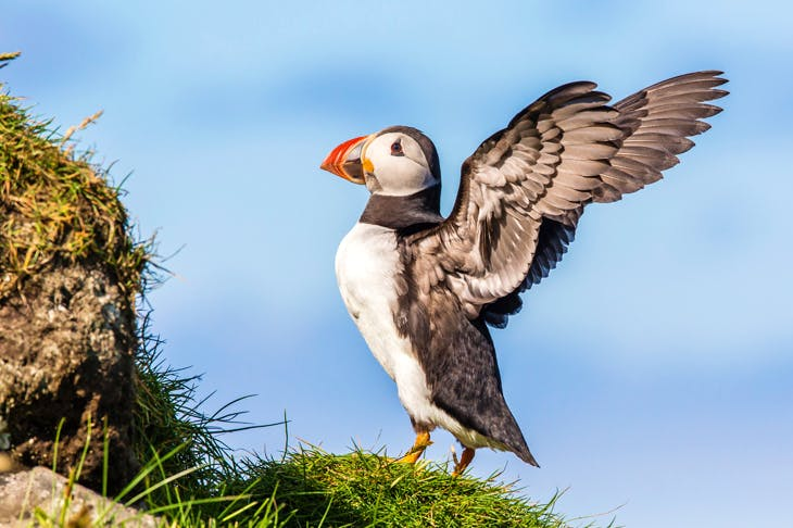 Atlantic puffin (Fratercula arctica) in the Faroes