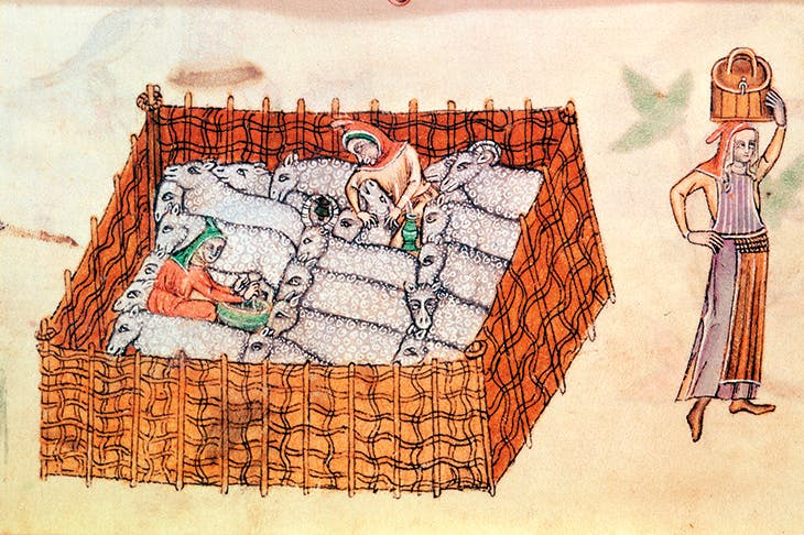 Sheep being milked in a pen. (From the Luttrell Psalter, English School, 14th century)