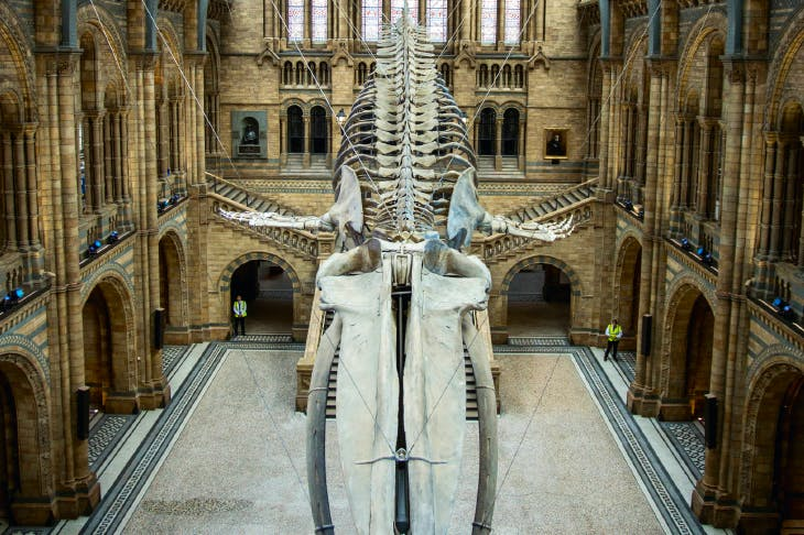 Hope, the blue whale, replaces Dippy, the diplodocus, in the Natural History Museum's Hintze Hall