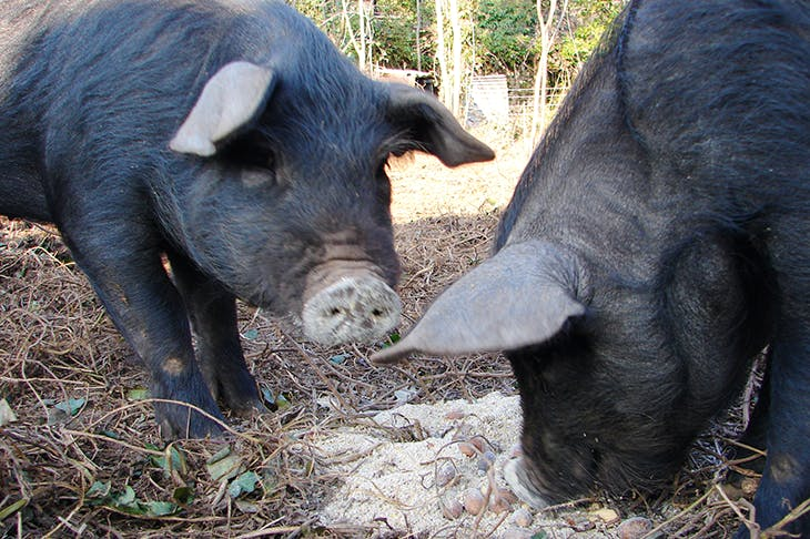 At feeding time, Jacqueline Yallop's pigs splash their noses through the grain, 'bringing them up white and floury, like old-fashioned Sherbet Dabs'