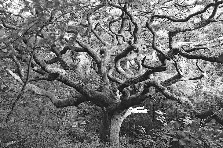 Oak tree, Marsland Valley, Near Welcombe, West Devon, 1997. The tree reminded Ravilious of Mondrian's drawings of an apple tree, which are progressively more and more stylised