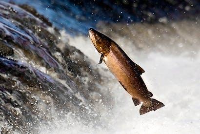 Forman smokes wild salmon, too — for a price