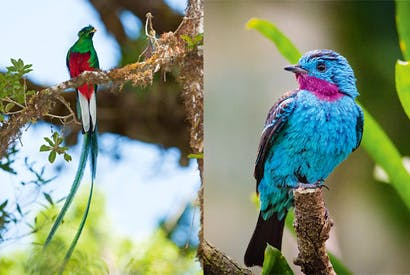 Above: The Spangled Cotinga of the Amazon Rainforest is one of the seven species known to fly-tiers as the Blue Chatterer. Left: The Resplendent Quetzal, found from Chipias, Mexico to Western Panama