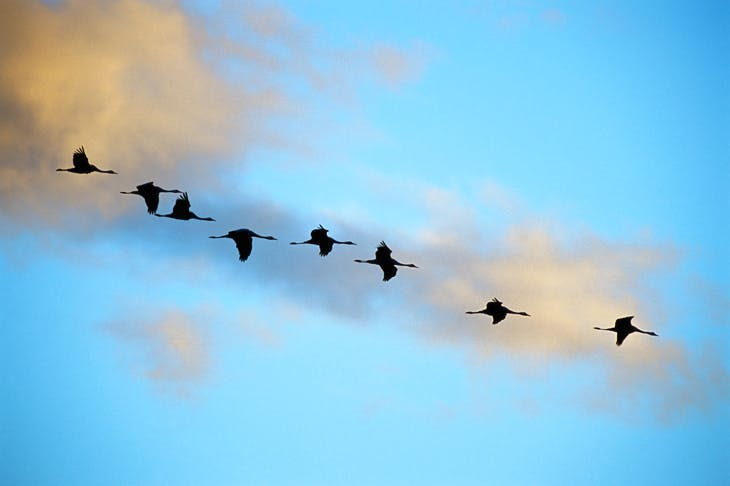 Migrating cranes in Vasterbotten, Sweden