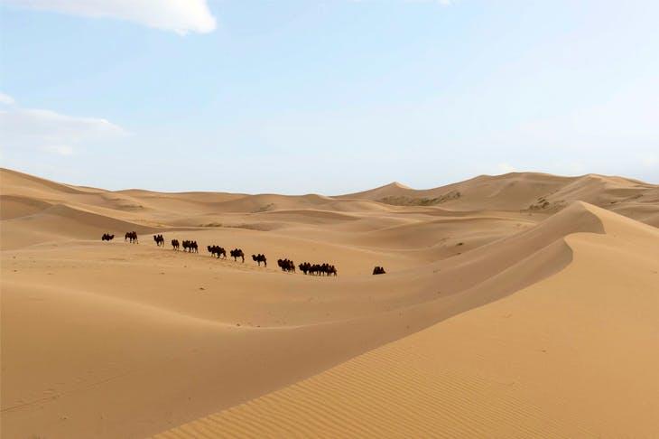Bactrian camels in the Khongoryn Els sand dunes of the Gobi Desert