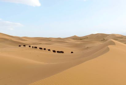 Bactrian camels in the Khongoryn Els sand dunes of the Gobi Desert