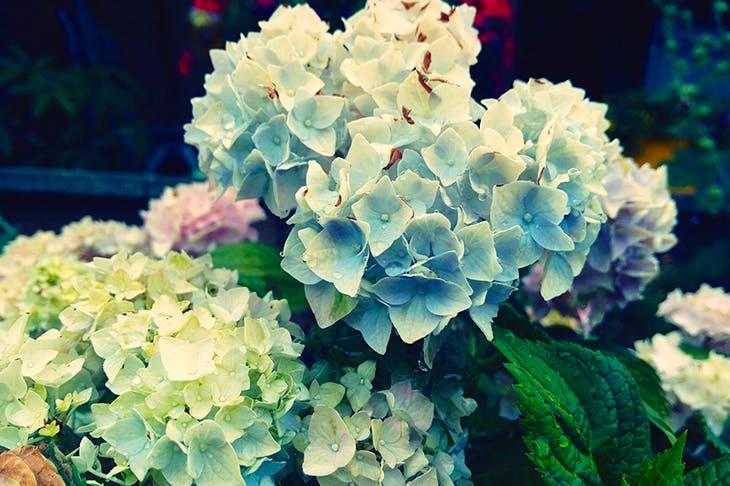 Blue Hydrangeas (Image: Getty)