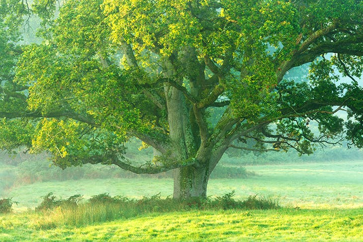 An English oak in a misty meadow at dawn [Getty]
