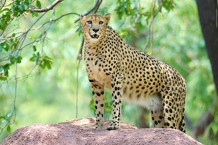 If you looked only at our farm, and avoided reading the news, you might find it absurd to hear there are only 7,000 cheetah in the world