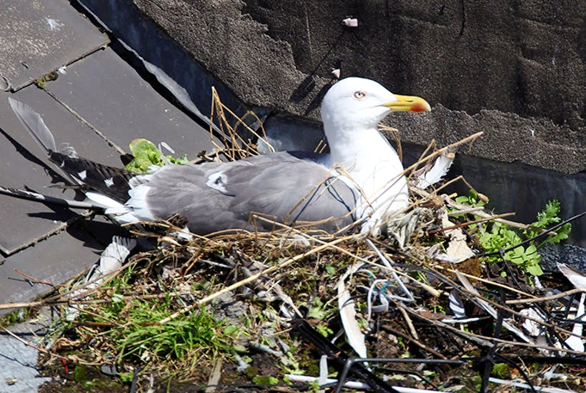 Gulls, once unknown inland, are no longer 'seagulls' but have taken to nesting on rooftops in city centres.