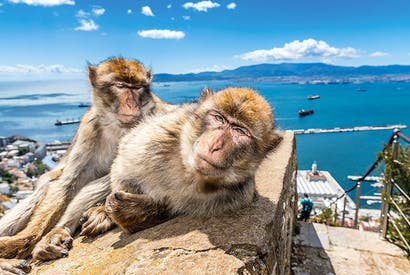 The famous Barbary macaques