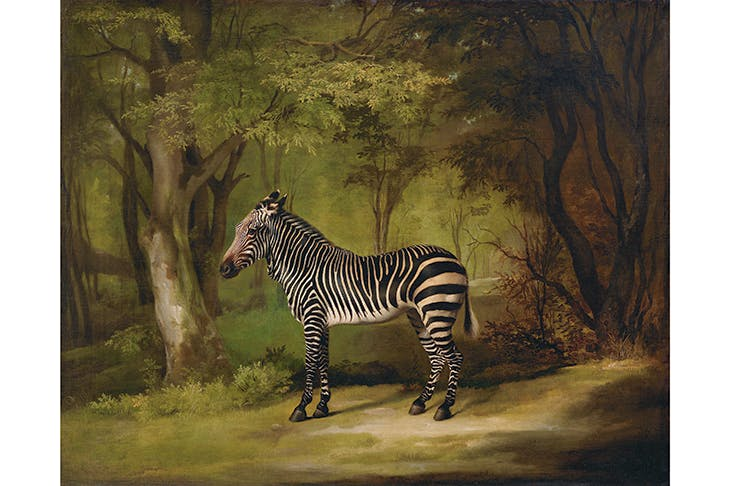 The eyes have it: 'The Zebra', 1763, by George Stubbs